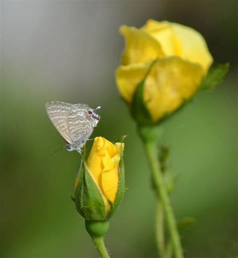 yellow rose buds  butterfly  theashutterbug redbubble