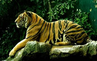 Tiger Bengal Wallpapers Backgrounds Tag