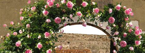 rosier 171 de ronsard 174 187 plantation culture bio au jardin ou en pot taille