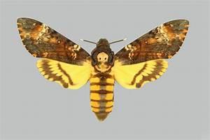 Galería de imágenes: Mariposas esfinge calavera