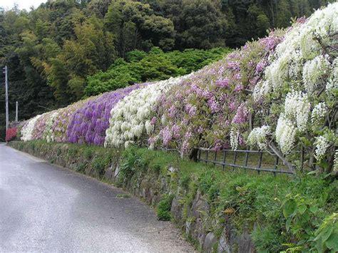 kawachi fuji garden in japan wisteria flower tunnel bimarabia