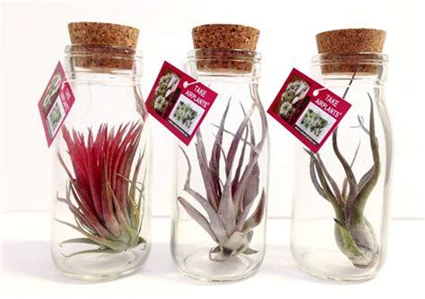 tillandsien im glas tillandsien im glas corsa webshop luchtplantjes tillandsia