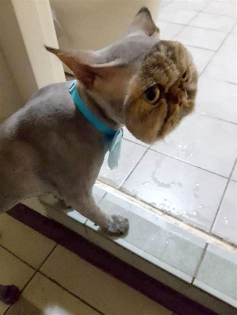 Shaved Cat Meme - owner surprised after taking her cat to a groomer bored panda