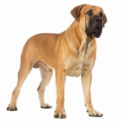 Boerboel Dogs Breeds Dog Breed Boerboels African