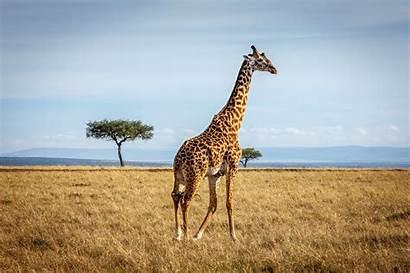 Giraffe Wallpapers Giraffes African Llama Desktop Backgrounds
