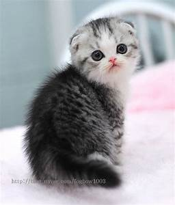 Scottish Fold Kitten...such a sweet expression. | I Heart ...