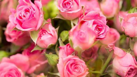rozovye rozy kartinki na rabochiy stol wallpapers