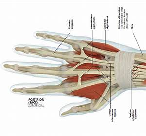 Posterior View Of Tendons In The Hand And Wrist Souce