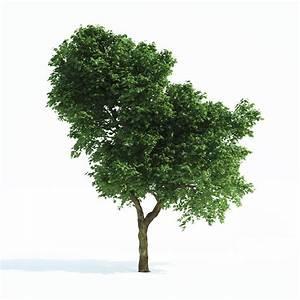 Oak Tree Immediate Entourage Download Full Size ~ loversiq