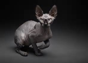 black sphynx cat gallery black hairless cats