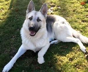 Black And White German Shepherd Photo - Happy Dog Heaven
