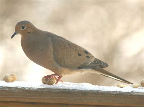 anyone for peanut soccer this mourning dove looks like