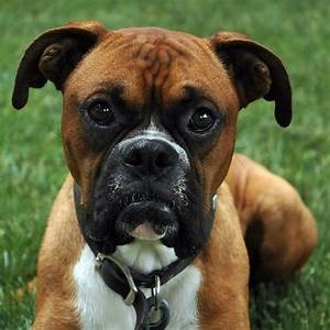 Dog Behavior Training MN | A Boxer's Story | The Dog ...