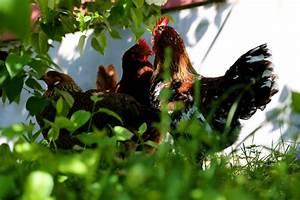Chicken Meeting- Fran's View - Bedlam Farm Journal Bedlam ...