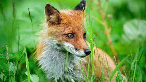 fox wallpapers hd wallpapers id