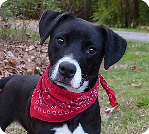 Mocksville, NC - Boxer/Border Collie Mix. Meet Batzee a ...