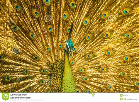 Animal Print Wall Paper Golden Peacock Stock Image Image Of Peacock Neck Head 55210711