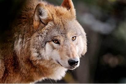 Wolf Friendly Wolves Brown Animals Looks Golden
