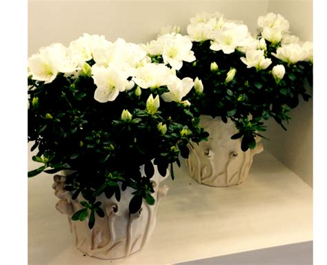 azalea in vaso pianta di azalea in vaso di ceramica ordina