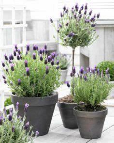 Lavendel Pflanzen Balkon : ber ideen zu terrassenpflanzen auf pinterest ~ Lizthompson.info Haus und Dekorationen