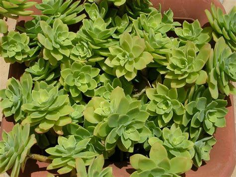 sedum succulent sedum palmeri palmer s sedum world of succulents