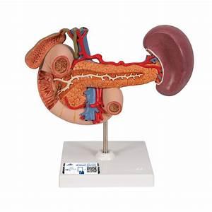 Rear Organs Of The Upper Abdomen - 1000309