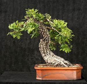 eiche als bonsai erziehen so gelingt39s With garten planen mit bonsai eiche