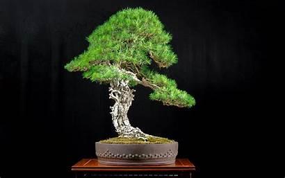 Bonsai Tree Wallpapers Desktop Plants Android Japan