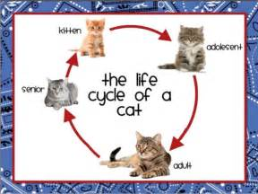 lifespan of cat chicken and cat cycle for upload