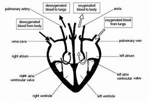 10 Best Images Of Heart Blood Flow Worksheet