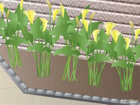 ways  grow calla lilies wikihow