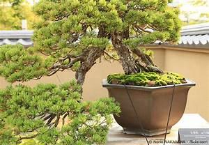 Bonsai Baum Garten : garten bonsai baum pflanzen pflegen garten hausxxl ~ Lizthompson.info Haus und Dekorationen