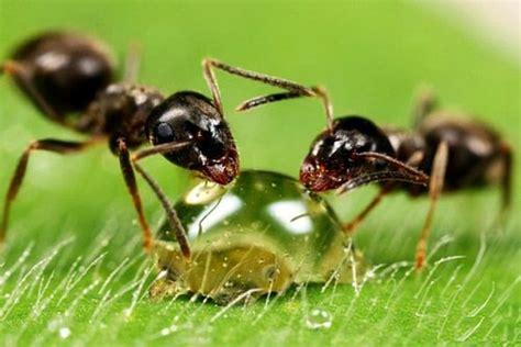 ameisen in küche ameisen bekämpfen im haus und im garten hausmittel gegen ameisen