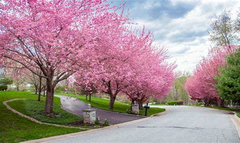 blossoming cherry trees blossoms the little gsp