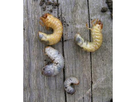 insecte cuisine ver blanc ou larve de hanneton