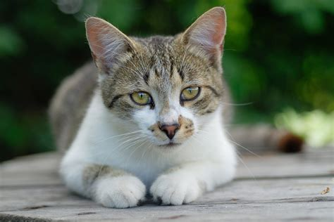 Foreign Body Removal In Cats