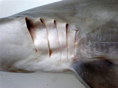 gill filaments great white shark a up look at file carcharhinus brevipinna jnc3077 gill slits jpg