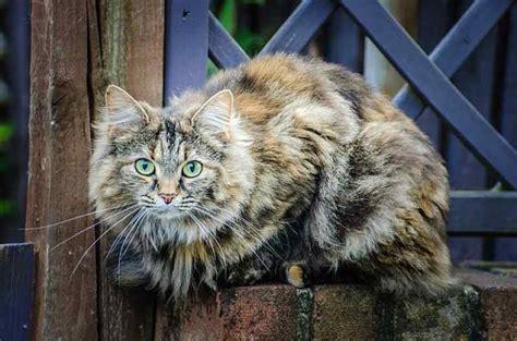domestic longhair cat cat breeds encyclopedia