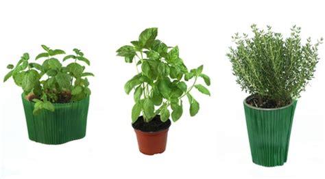 cuisine tomate la culture des herbes aromatiques en pot
