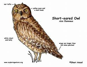 Owl  Short