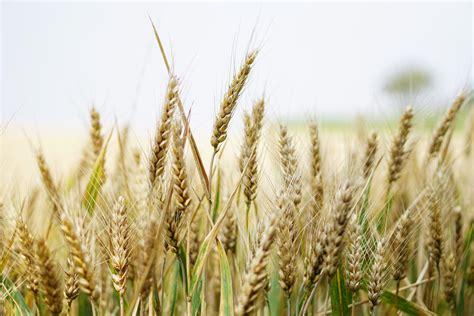 engaging wheat field  pexels  stock