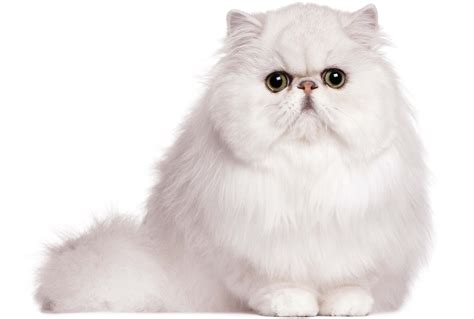 20 Lovely And Friendly Persian Cats Images