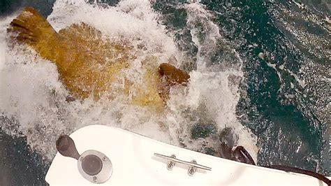 grouper feeding goliath blacktiph aggressive must