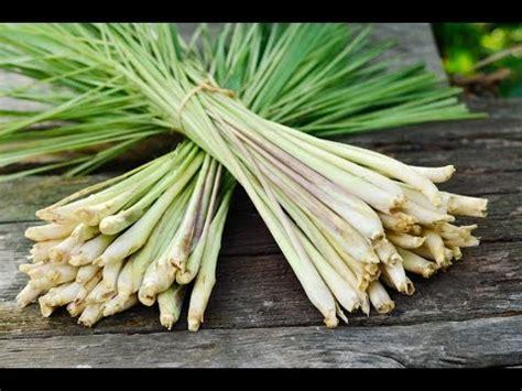 grow lemongrass youtube