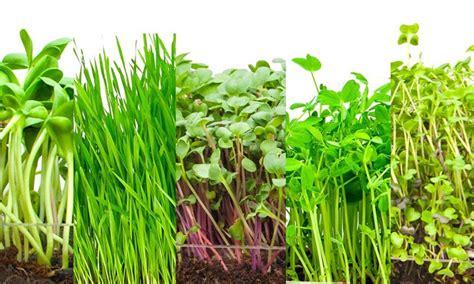 grow your own microgreens grow your own microgreens in 4 steps