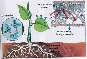 การลำเลียงน้ำของพืช