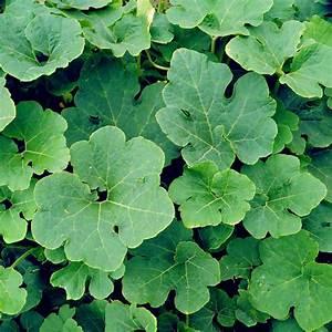 Diagram Of Pumpkin Leaf