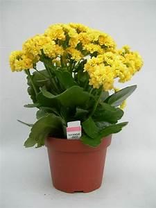 Pflanzen Für Wenig Licht : zimmerpflanzen wenig licht kalanchoe gelb flammendes kaethchen sukkulente pflanzen by deavita ~ Sanjose-hotels-ca.com Haus und Dekorationen