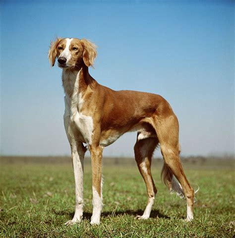 saluki dog breed information pictures characteristics