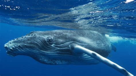 Fluidr / Southern humpback whales Tonga (Megaptera ...